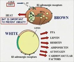 Pnei System e organo adiposo